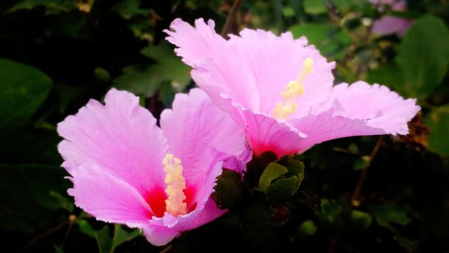 Rose Of Sharon flower Freshness Pink Color Fragility Close-up Petal Growth In Bloom Flower Head Beauty In Nature Blossom Season  Botany Stem Plant Nature Softness Selective Focus Vibrant Color