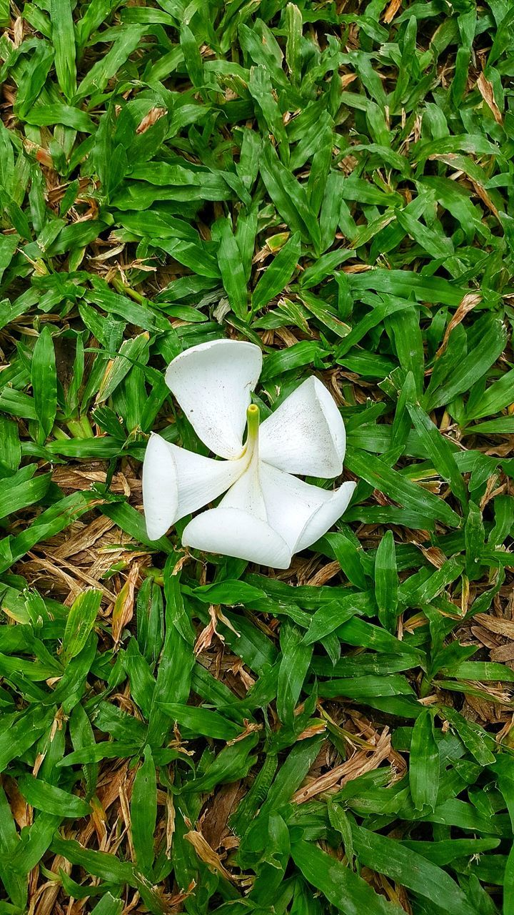 white color, nature, flower, growth, green color, petal, high angle view, fragility, plant, leaf, freshness, flower head, beauty in nature, no people, field, close-up, snowdrop, day, grass, outdoors