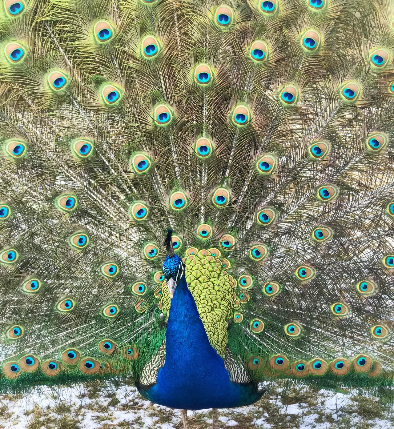 Peacock Peacock Bird Feather  Peacock Feather Blue Fanned Out Animal Themes Animal Wildlife Animals In The Wild No People One Animal Multi Colored Outdoors Beauty In Nature Close-up Day Nature Peacock Blue Peacock Colors Peacock Portrait EyeEmNewHere Ruhrpott Haltern Am See Wildpark Nature