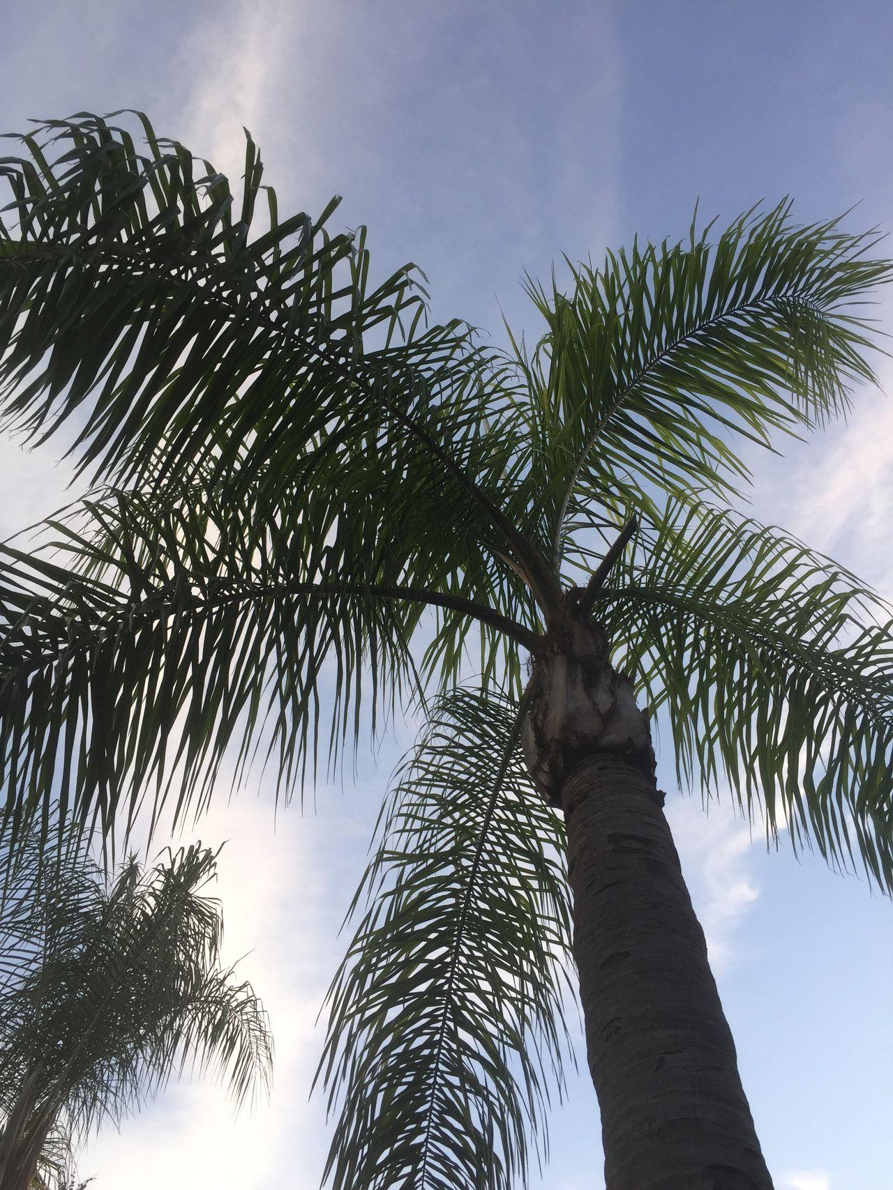 Dusk Palm Trees Palm Tree Palm Trees