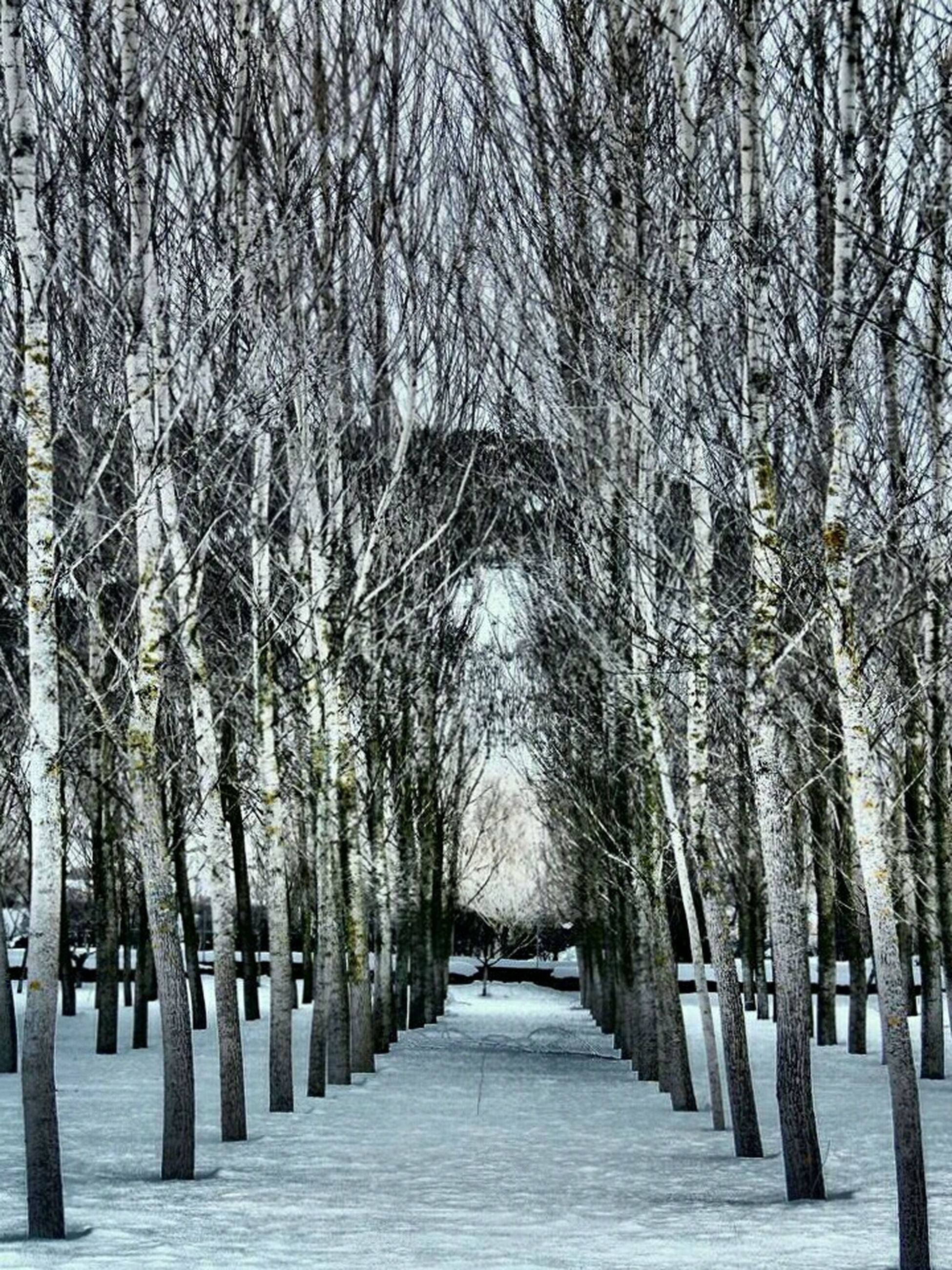 tree, the way forward, diminishing perspective, treelined, snow, winter, cold temperature, tranquility, tranquil scene, vanishing point, nature, beauty in nature, scenics, season, footpath, tree trunk, in a row, branch, bare tree, growth