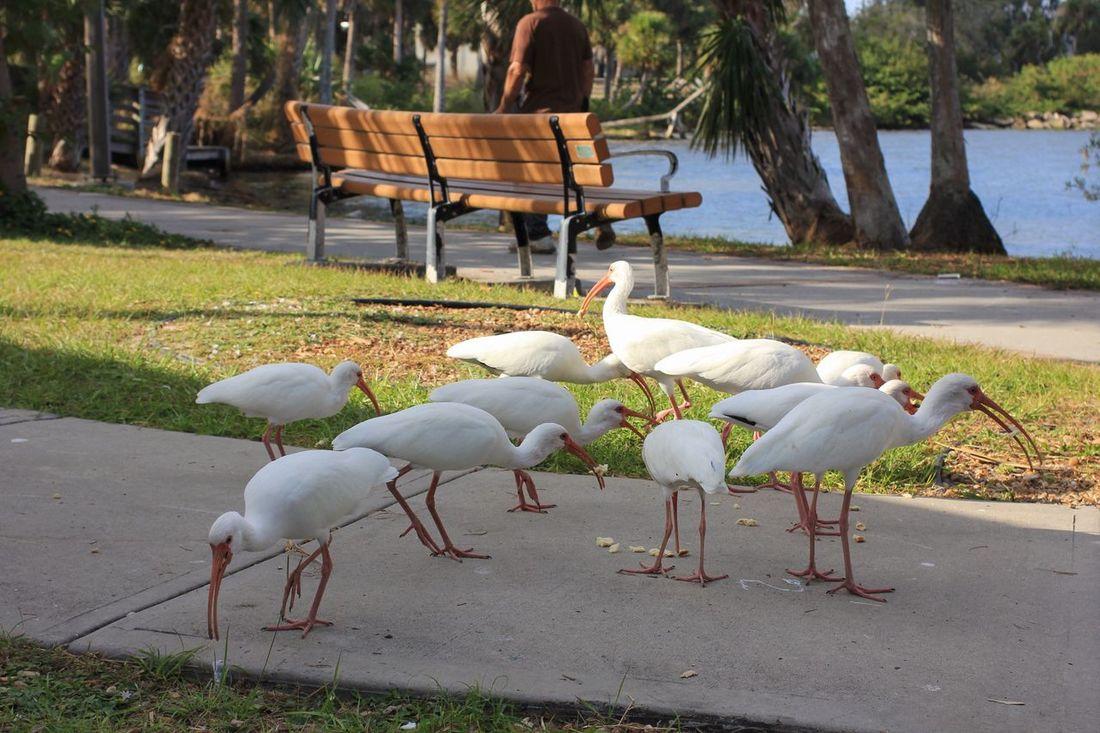 White ibis in the park Ibis White Ibis Florida Nature Animal Themes Flock Of Birds Feeding The Birds Florida Park