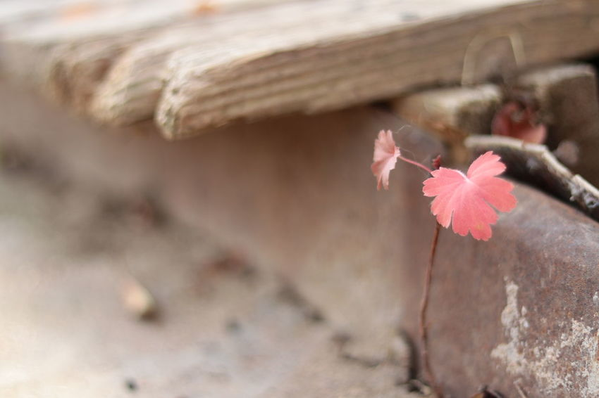 Pink Color Autumn Close-up Outdoors Day Flower Nature Fragility The Week On EyeEm Beauty In Nature Autumn Nature