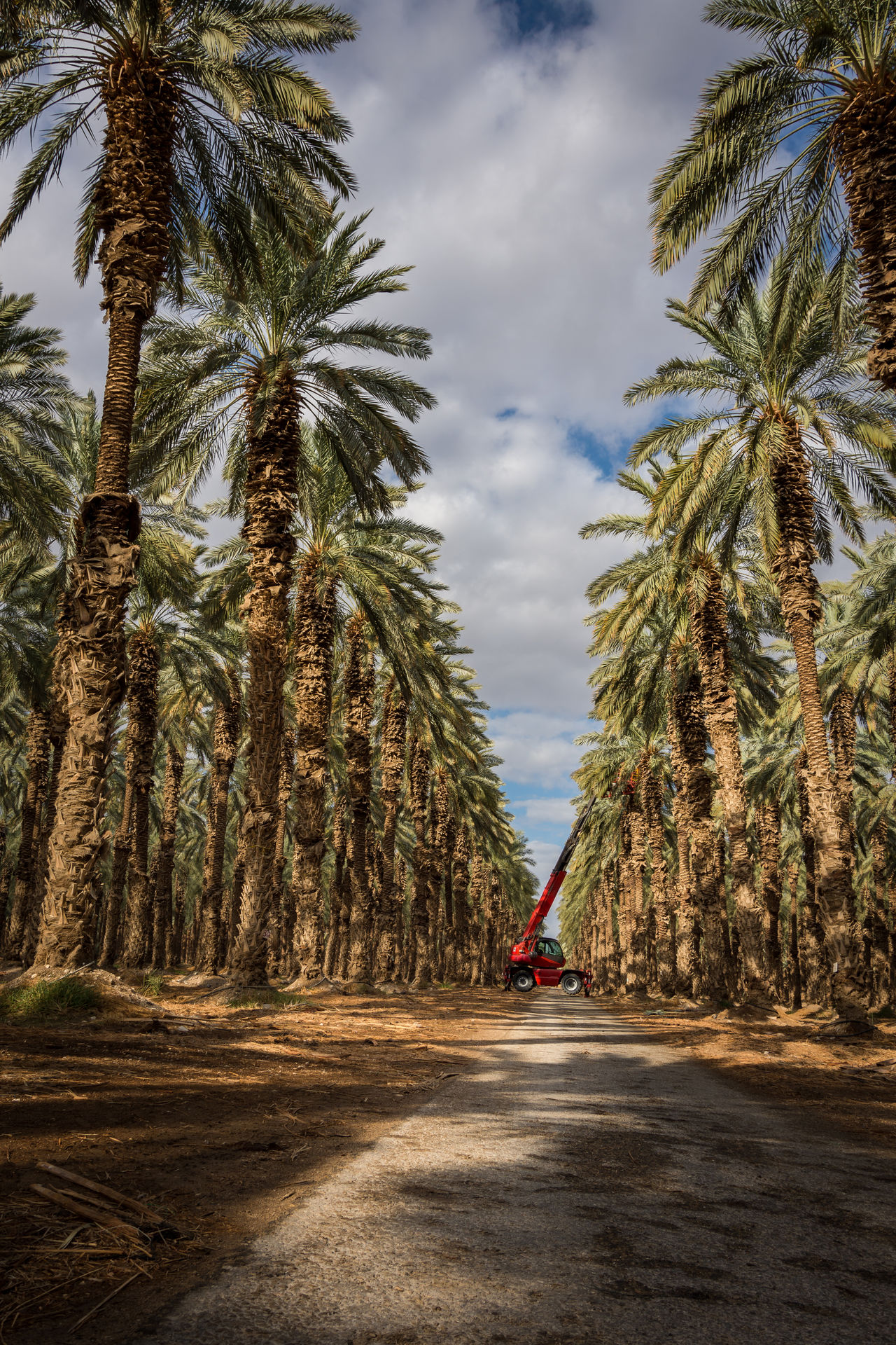 Picking dates At Dead Sea - Israel Beauty In Nature Cloud - Sky Deadsea Finding New Frontiers Israel Nature Palm Tree Palm Tree Palm Trees Road Transportation Tree