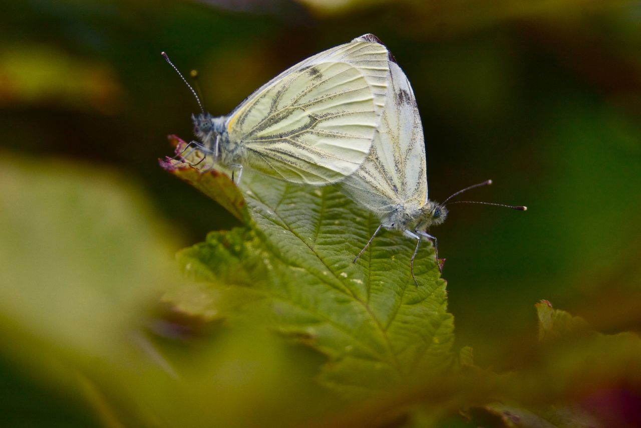 Butterflies Butterfly Close-up Countryside Green Insect Macro Nature Outdoors Selective Focus Summer