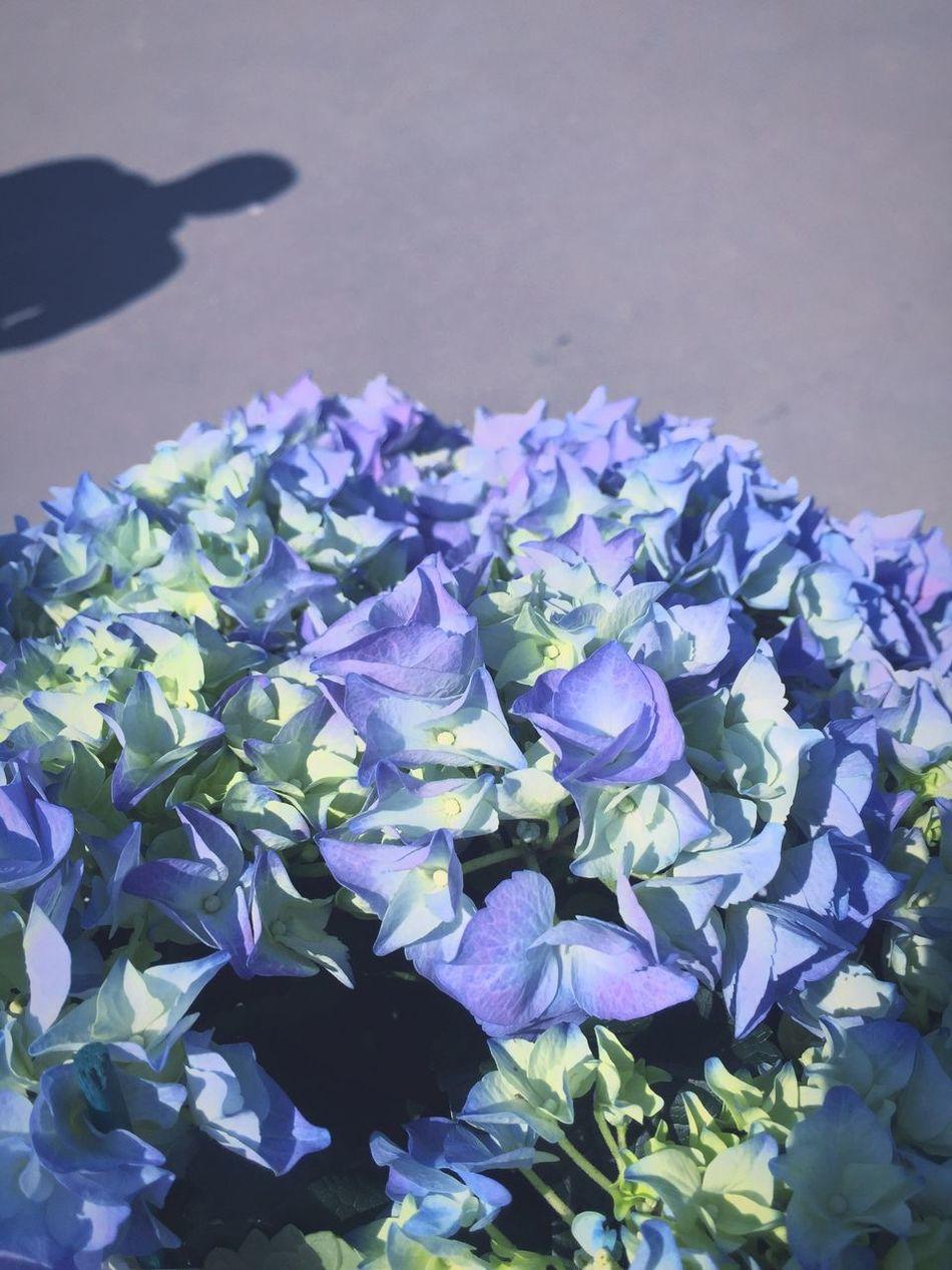 new addition for the balcony Hortensia Blue Urban Gardening