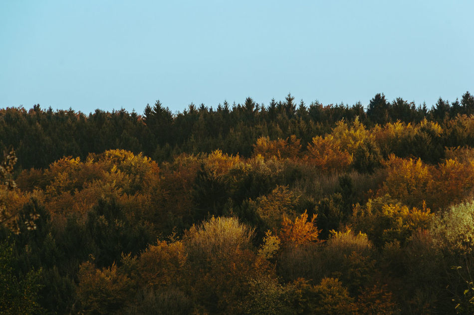 colors I Autumn Beauty In Nature Clear Sky Colors Day Forest Growth Growth Landscape Leafs Nature No People Outdoors Scenics Tranquility Tree Westerwald