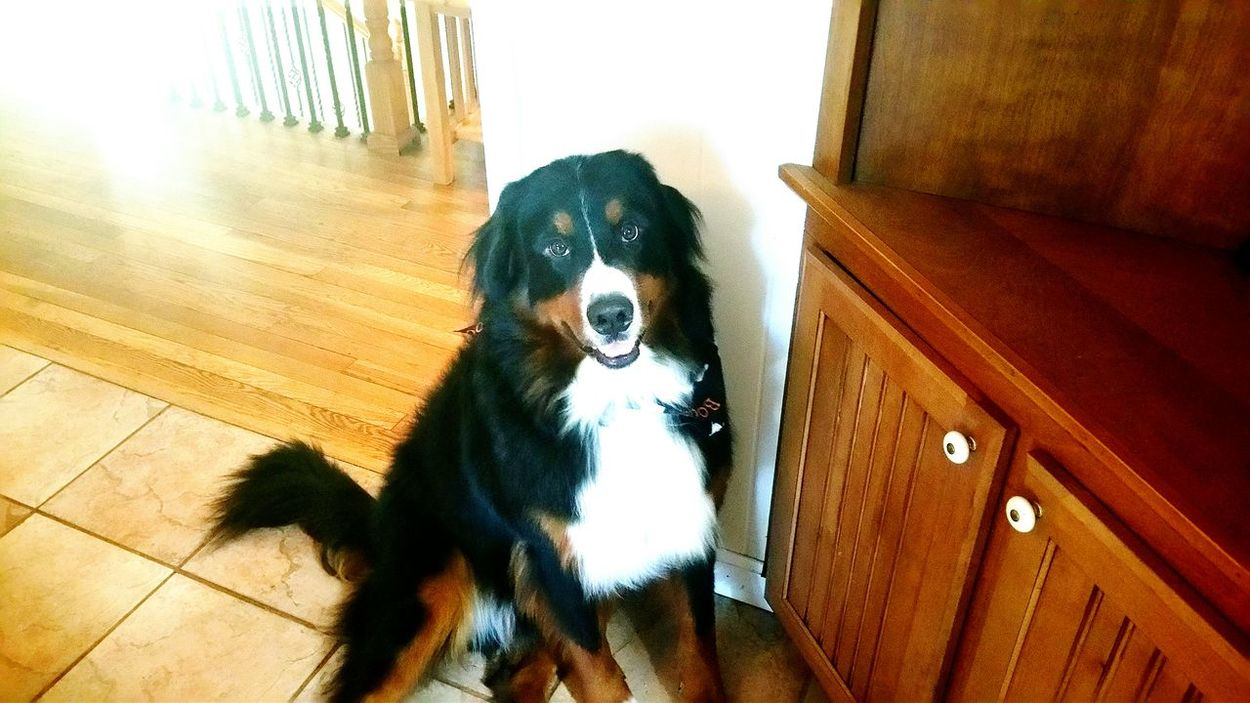 And this handsome boy is Liam ❤ Don't let his innocent look fool you Trouble Looking For Trouble Bmd Berner Bernesemountaindog LIAM Doggiedos Grooming