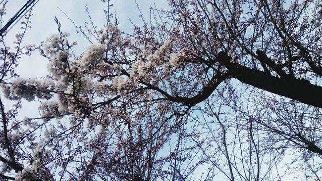 Eyeemnaturelover Japan Sakuratrees Beautiful Nature Windy