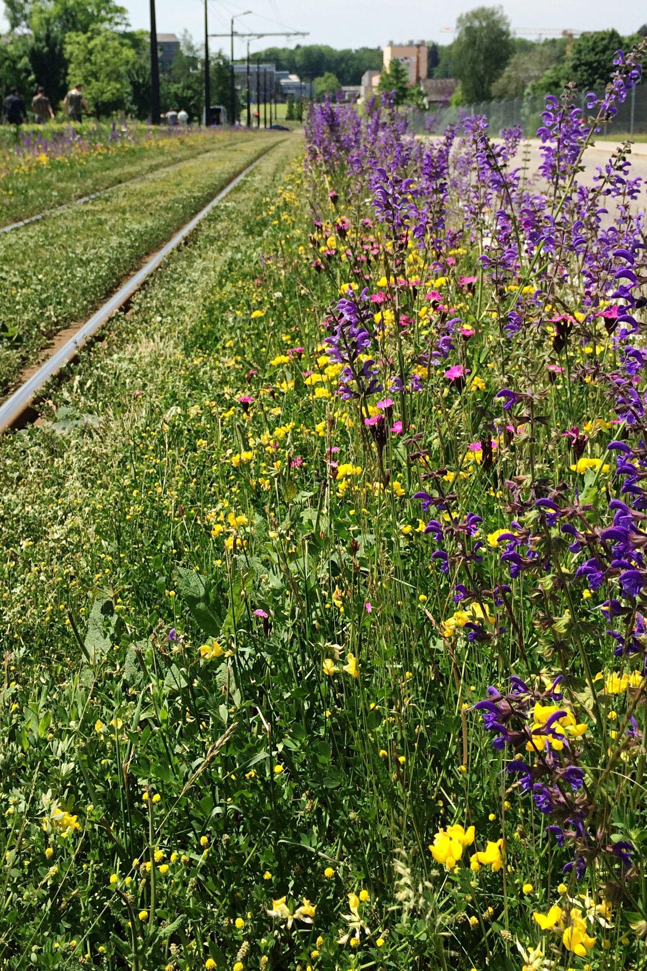 Flower Flowers Glattalbahn Trasse Yellow Flower Violet Flowers Green Spring Spring Flowers IPhone 5S