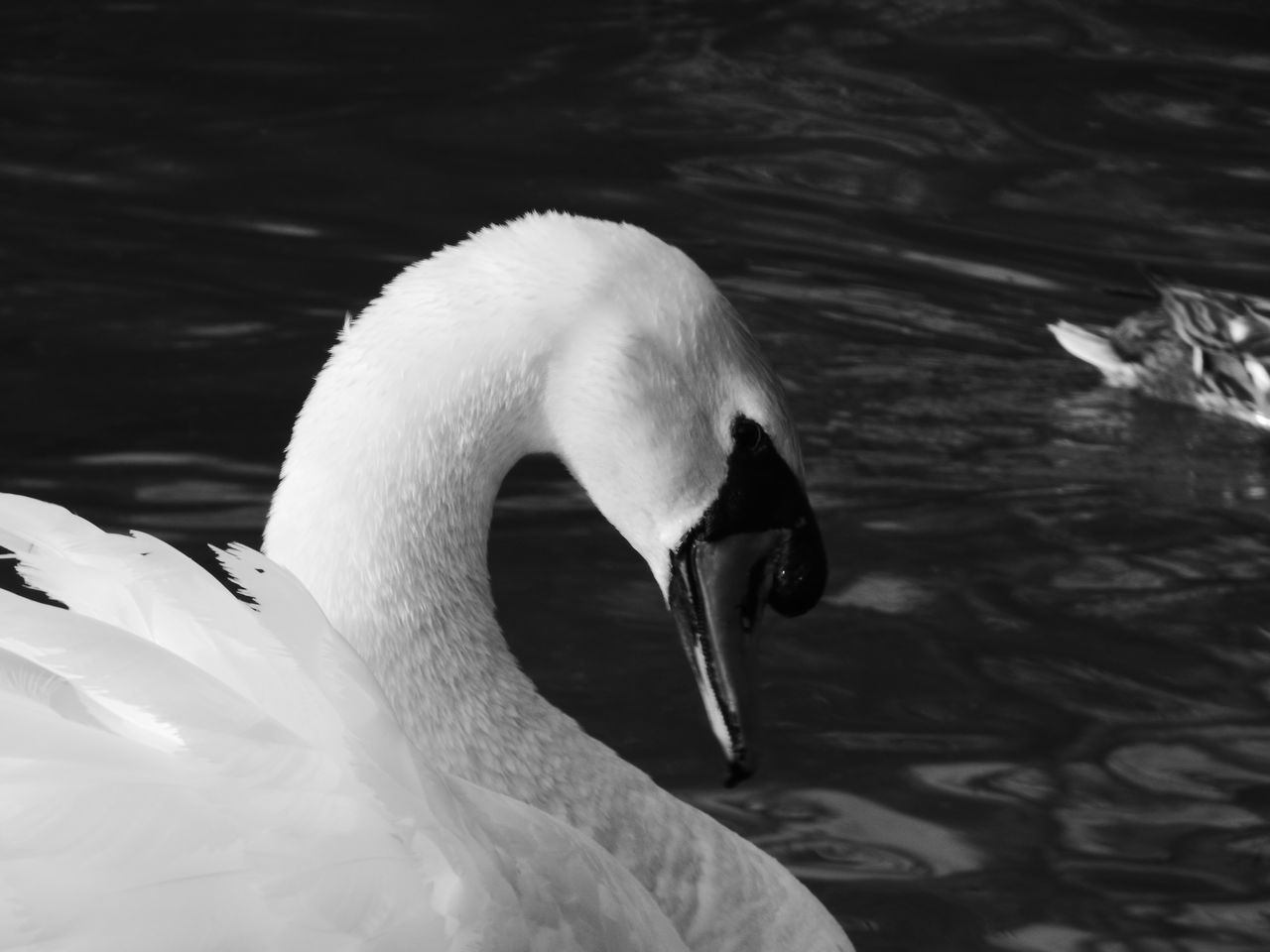 bird, animals in the wild, swan, animal themes, one animal, beak, lake, animal wildlife, white color, water bird, swimming, water, day, nature, no people, close-up, outdoors