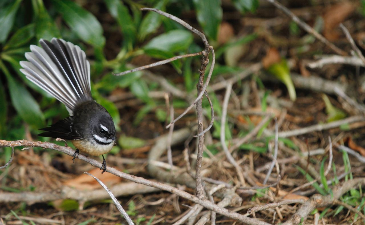 Curious Fantail ! Animal Animal Themes Animal Wildlife Avian Beauty In Nature Bird Black Color Close-up Day Fantasy Focus On Foreground Grass Growth Native Birds Nature No People Outdoors Perching Plant Selective Focus Wildlife