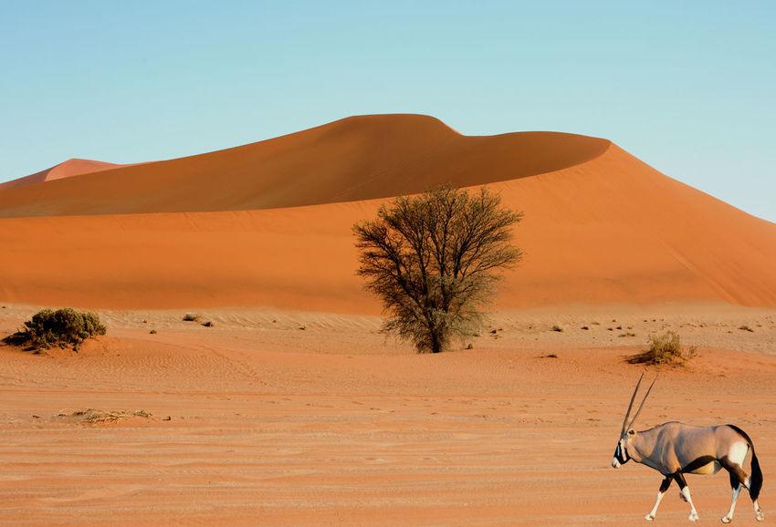 Gemsbk Oryx in the the desert Adventure Arid Climate Desert EyeEm Nature Lover Gemsbok Oryx Namib Desert Namib Dunes Namib Naukluft National Park Outdoors Remote Sand Dune Sand Dunes Scenics Sesriem Sossusvlei Desert - Namibia Vacations