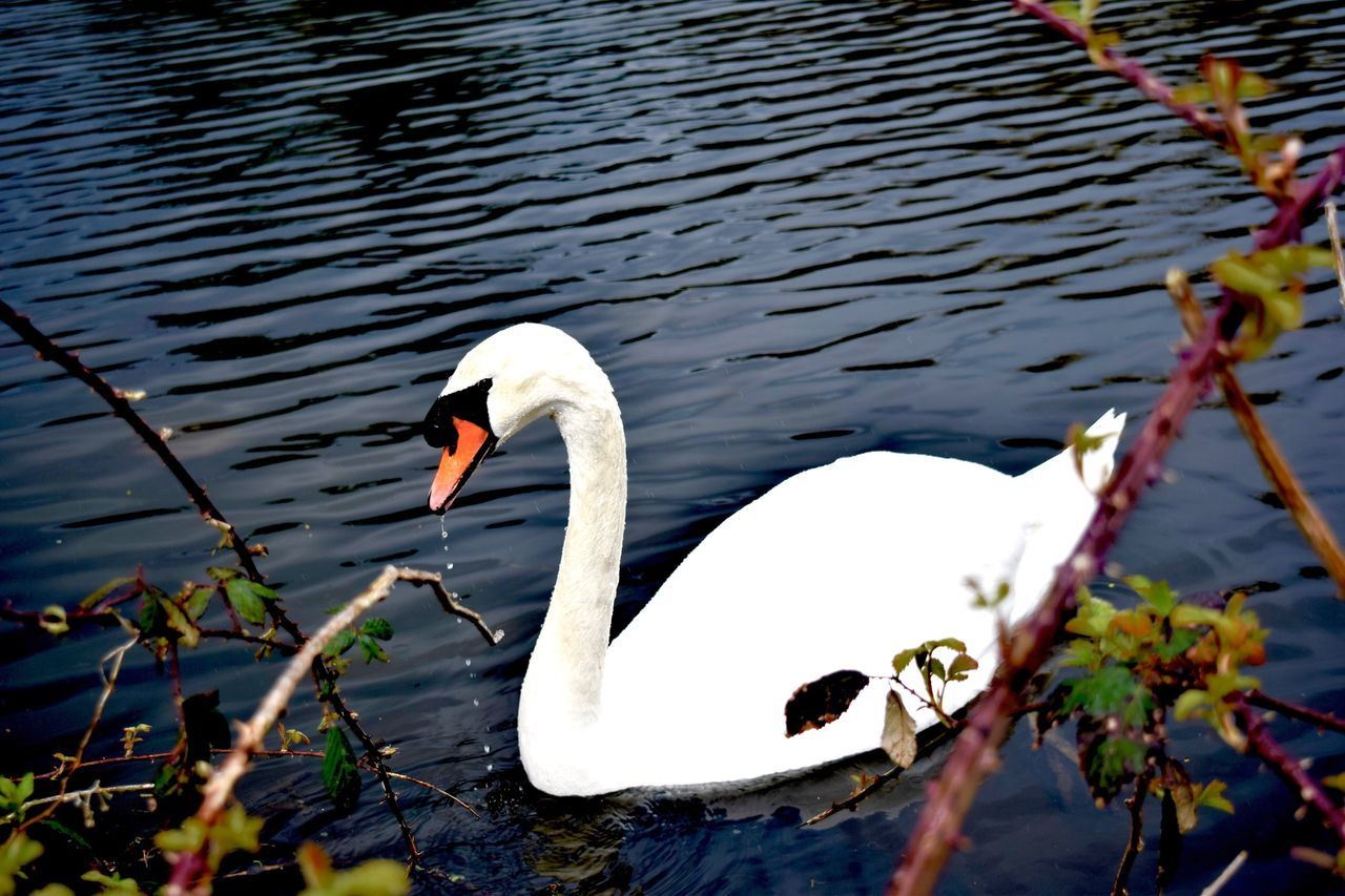 animals in the wild, animal themes, one animal, lake, white color, swan, bird, water, day, animal wildlife, no people, nature, outdoors, swimming, beauty in nature, close-up