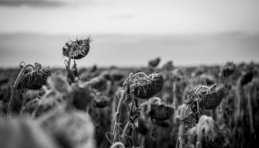 Autumn Beauty In Nature Black And White Field Flower Head Growth No People Non-urban Scene One Of Many Stem Sunflower