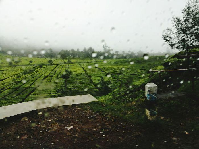 Bandung Tea Plantation Rain Wet Agriculture Landscape Nature Beauty In Nature