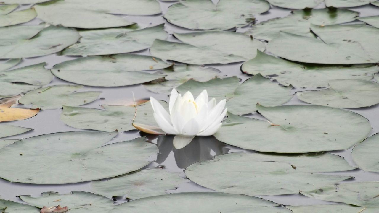Waterlily White Waterlily Waterlilyphotography Waterlily Pads Lilypads Flowercloseup Waterflower Maine Beautiful Nature Whiteflower