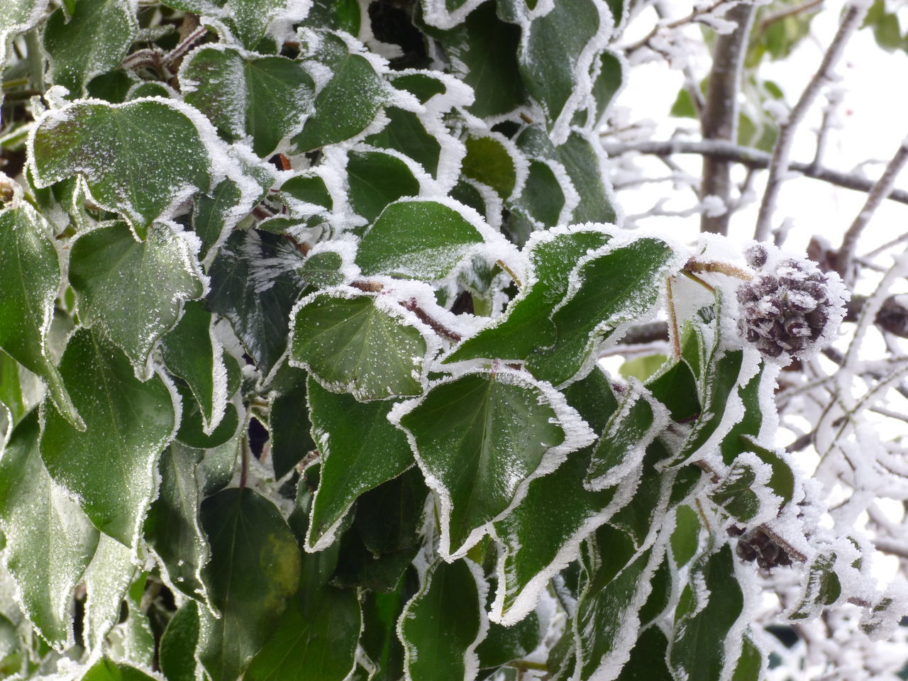 Beauty In Nature Cactus Close-up Day Frosty Leaves Green Color Growth Leaf Nature No People Outdoors Plant Tree
