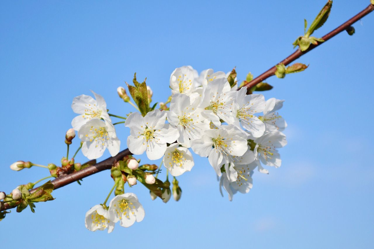 Flower Nature Growth Fragility Beauty In Nature Tree Blossom Apple Blossom Springtime Clear Sky Apple Tree Low Angle View Close-up Outdoors Twig Branch No People Day Sky