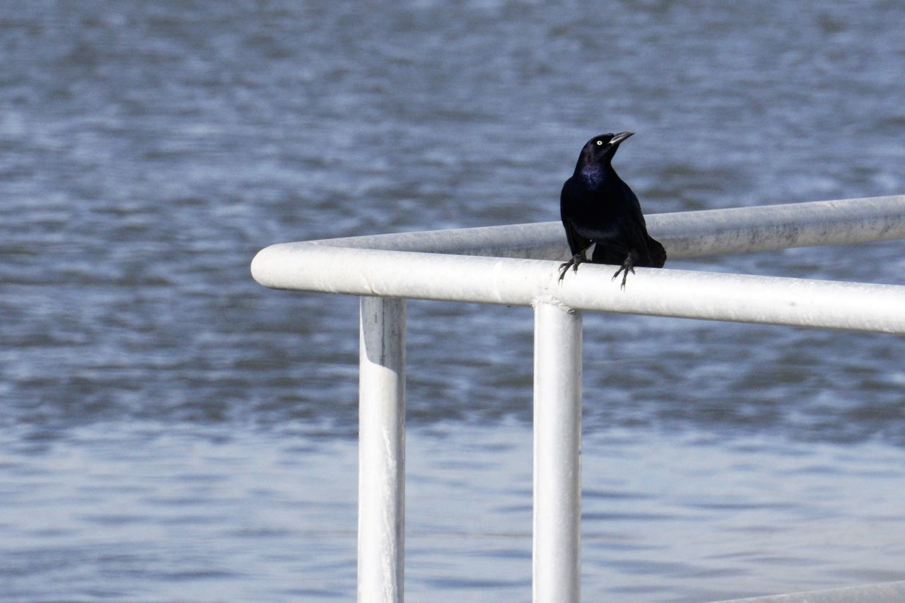 bird, animals in the wild, animal themes, animal wildlife, one animal, perching, water, sea, nature, day, no people, crow, focus on foreground, outdoors, raven - bird, wooden post, cormorant, beauty in nature, close-up