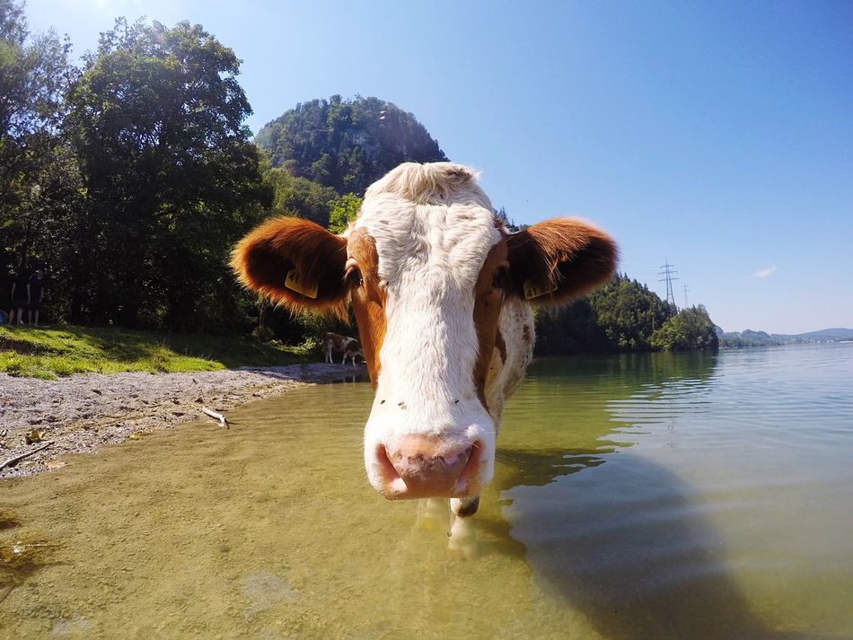 Animal Themes One Animal Domestic Animals Water Tree Livestock Mammal Looking At Camera Clear Sky Cow Animal Head  Herbivorous Tranquility Animal Nose Day Nature Snout Lake Water Animal Zoology