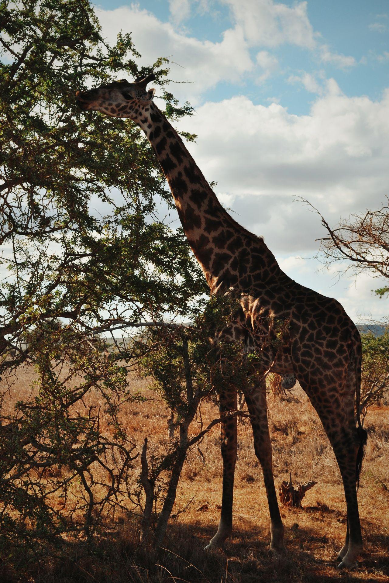 Tsavo east, Kenya. Tree Giraffe Acacia Nature Outdoors VSCO Kenya Tsavo Africa EyeEm Best Edits EyeEm Best Shots Adventure Travel Destinations Travel Safari Go To Kenya Beauty In NatureAnimals In The Wild Animal Themes Landscape Nature Animal Wildlife Animal