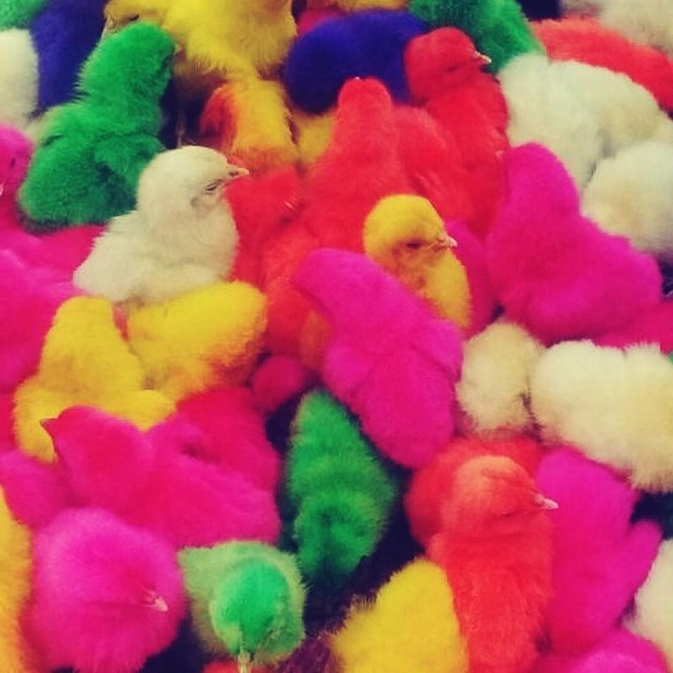 Feiralivre Sergipe Aves 🐥🐤🐥 Colors Taking Photos Chickens >.< Cutie♥