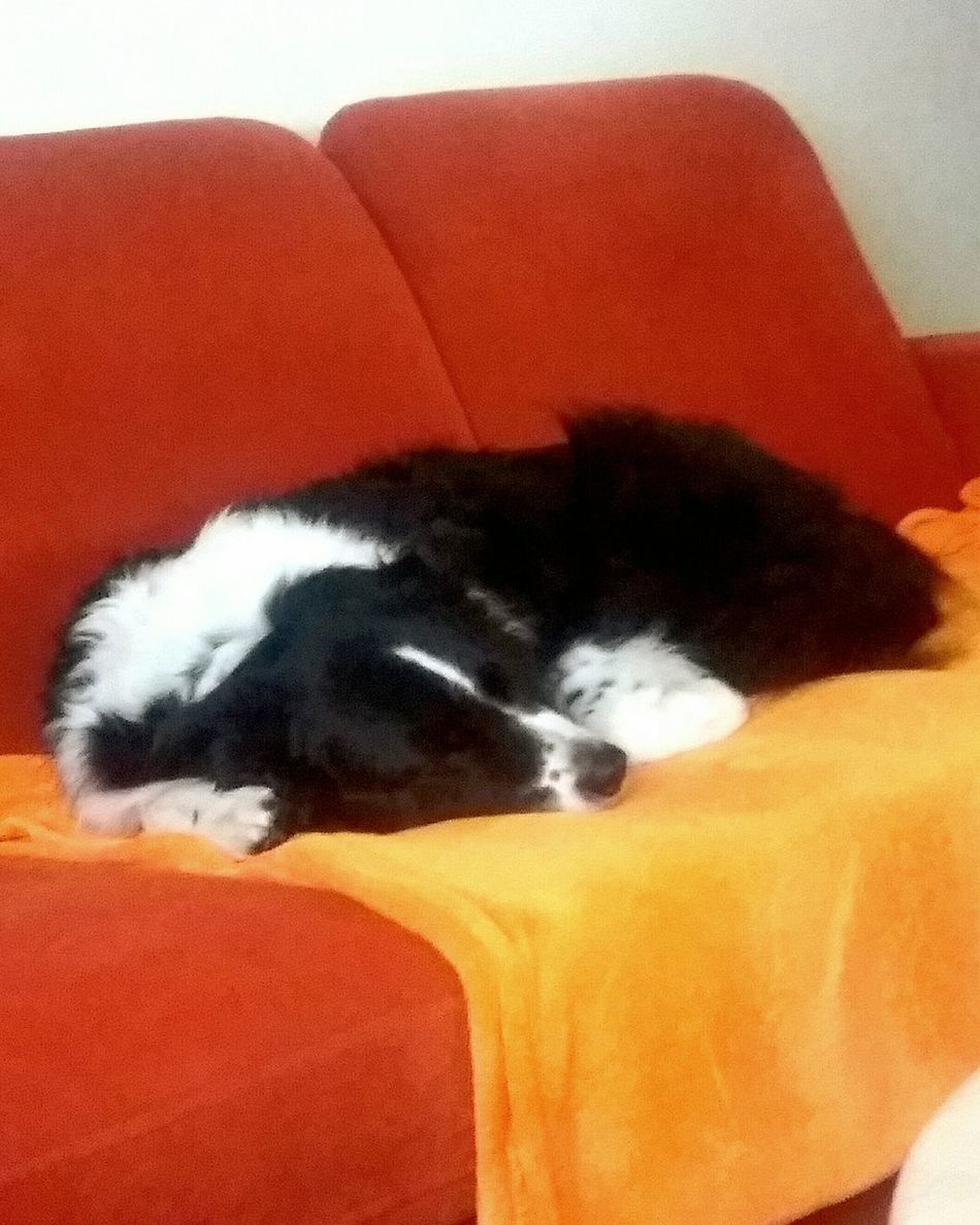 Pets Animal Themes One Animal Domestic Animals Domestic Cat Mammal Sleeping Resting Feline Cat Close-up Red Relaxation Zoology Animal Head  Whisker Animal Lying Down Blue Softness Photoshoot Border Collie Australienshepard Animal_collection Love