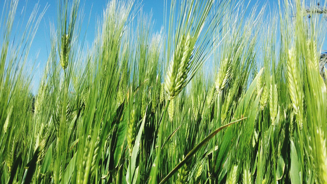 Wheat Field My Farm Nature Outdoors Nature My Farm Life