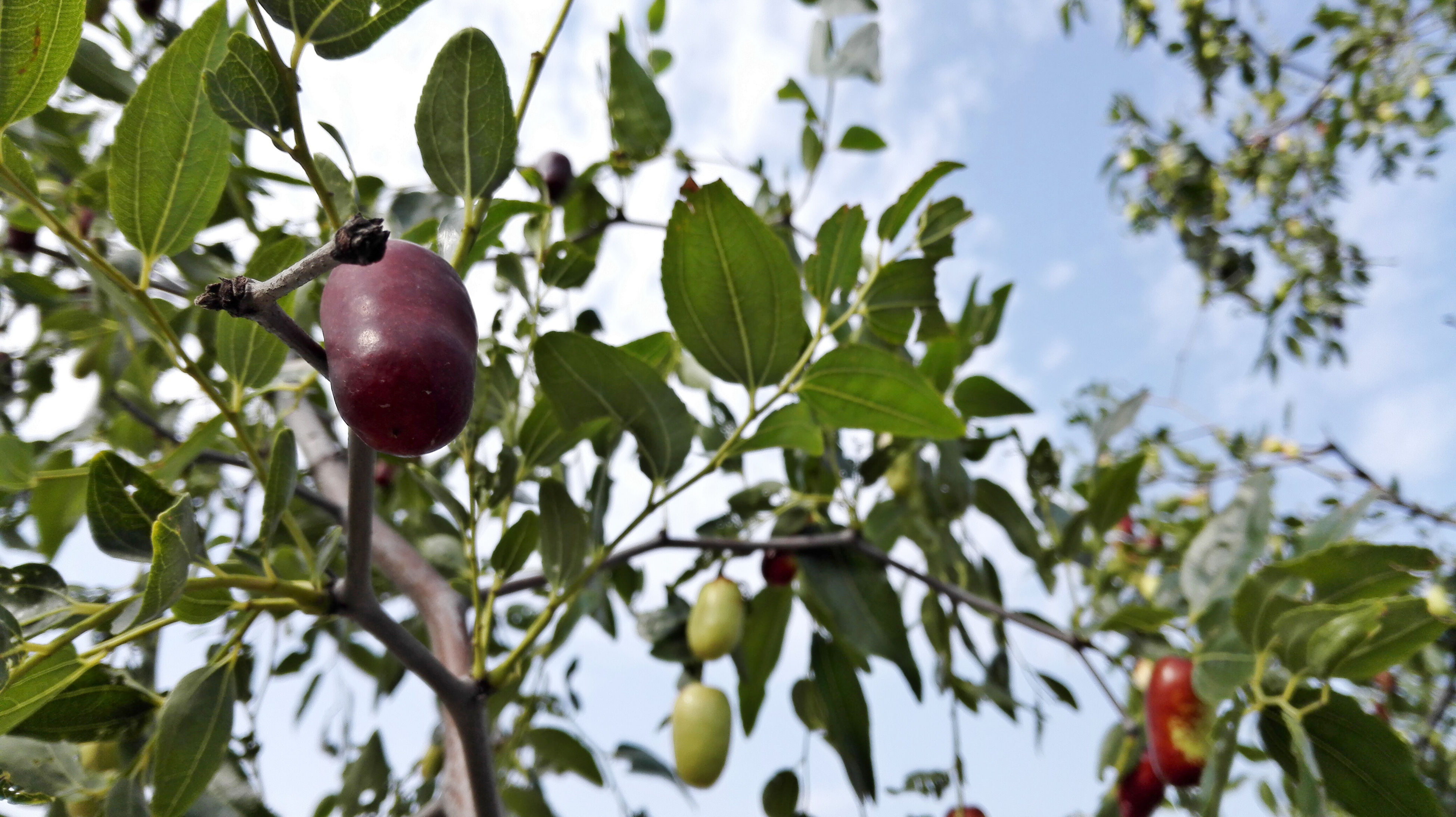 fruit, tree, leaf, food and drink, growth, branch, food, low angle view, healthy eating, freshness, green color, nature, close-up, focus on foreground, hanging, day, ripe, outdoors, sky, apple tree