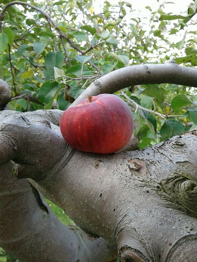 Fruit Red Beauty In Nature Apple Orchard Apple Tree The Wisdom Is In The Trees Not The Glass Windows Nature Autumn Colors Nature_collection Colors Of Autumn Beauty In Nature Autumn Apple