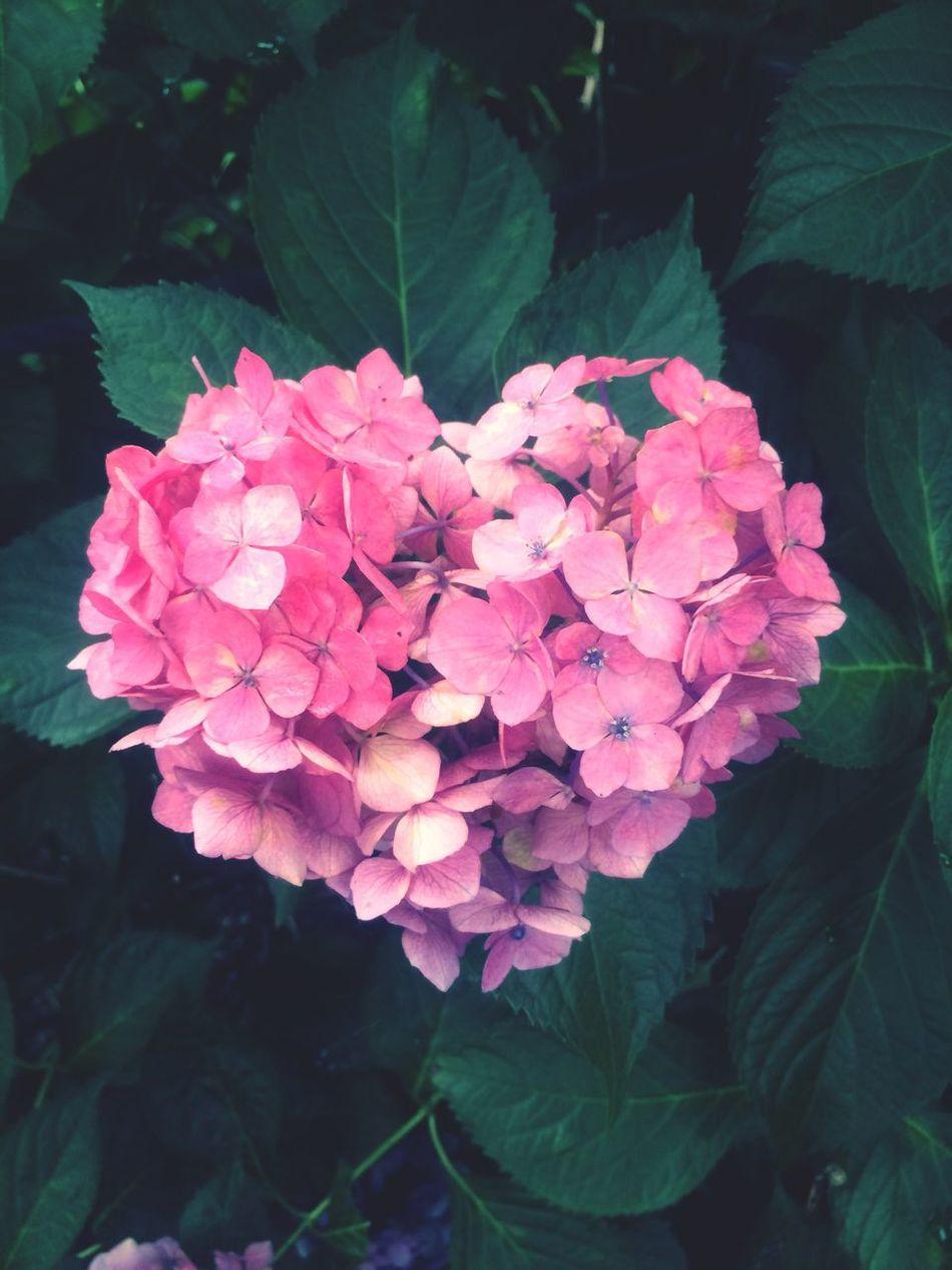Hydrangea Hydrangea Flower Heart Mimurotoji Kyoto