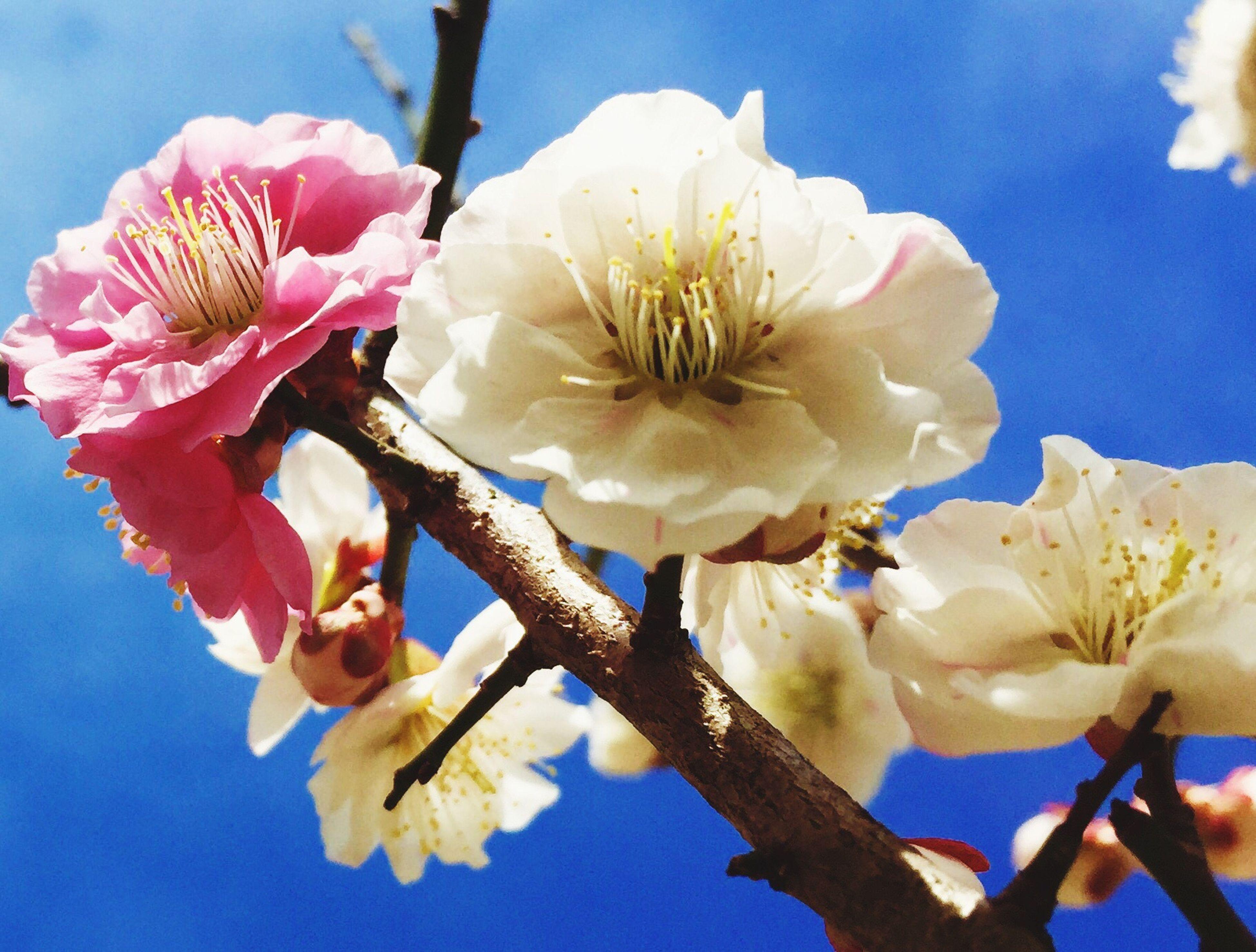 Japan Sakura One Pink Spring Tohoku Sky Sendai