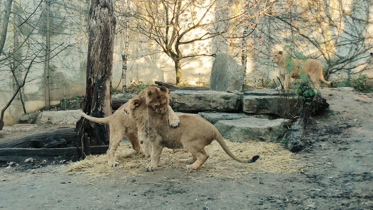 Animal Photography Lions Love Hugs Playtime Family Animal Family Mullhouse France