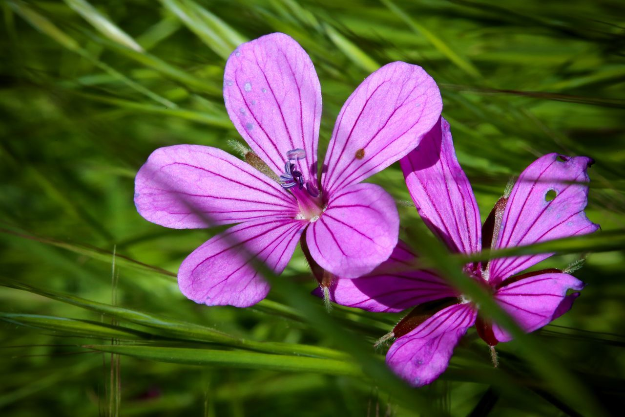 Beauty In Nature Blooming Close-up Day Flower Flower Head Fragility Freshness Green Color Growth Nature No People Osteospermum Outdoors Petal Pink Color Plant Purple