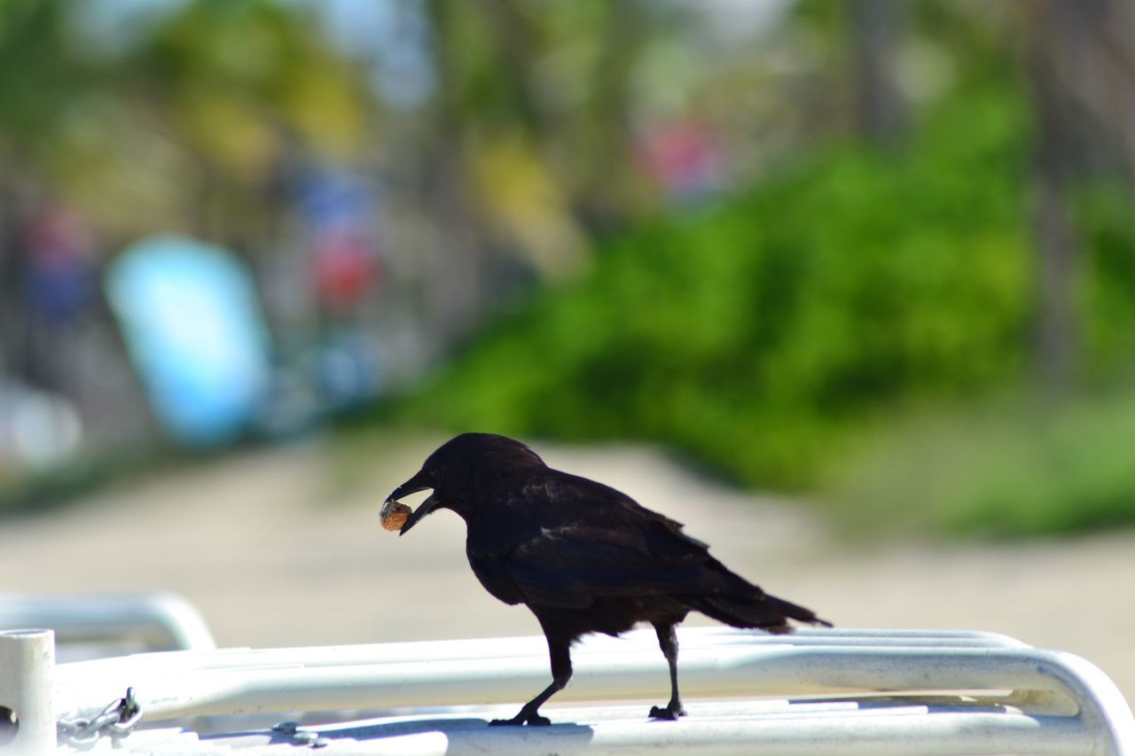 one animal, focus on foreground, animal themes, bird, no people, day, outdoors, animals in the wild, animal wildlife, nature, close-up, perching, mammal