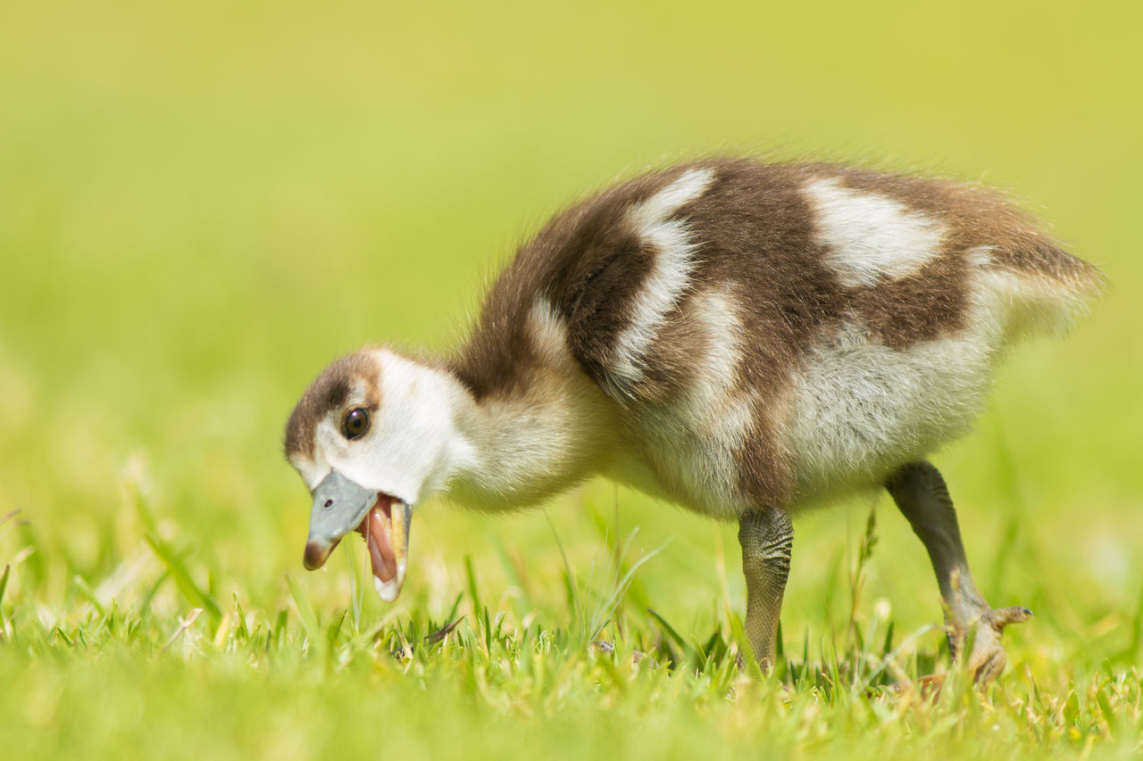 Young egyptian gosling feeding on the grass at Kirstenbosch Botanical gardens Animal Themes Animal Wildlife Animals In The Wild Bird Close-up Day Egyptian Goose Field Full Length Gosling Grass Green Color Mammal Nature No People One Animal Outdoors Young Animal