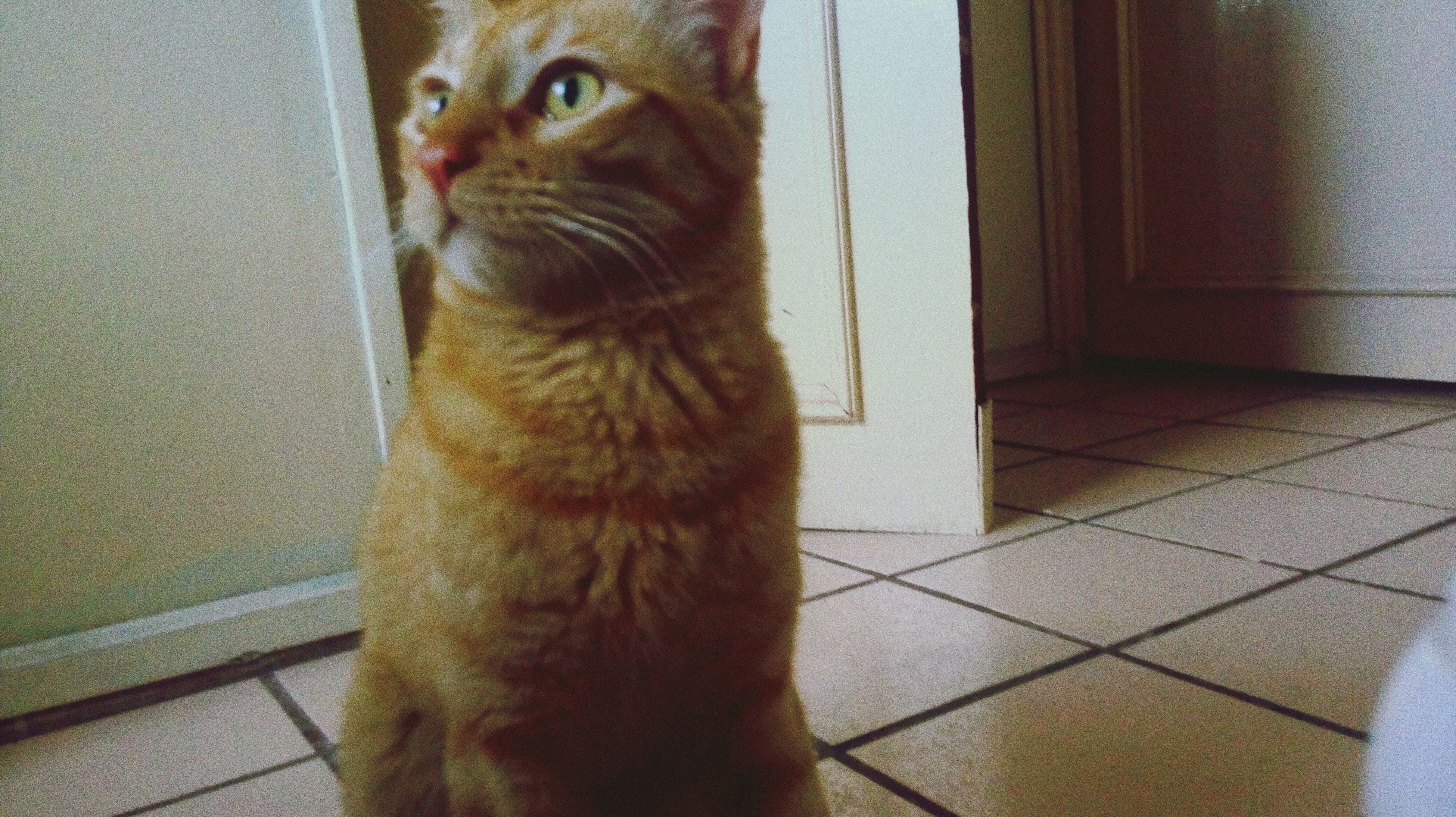 one animal, pets, domestic animals, indoors, animal themes, mammal, domestic cat, home interior, no people, close-up, day