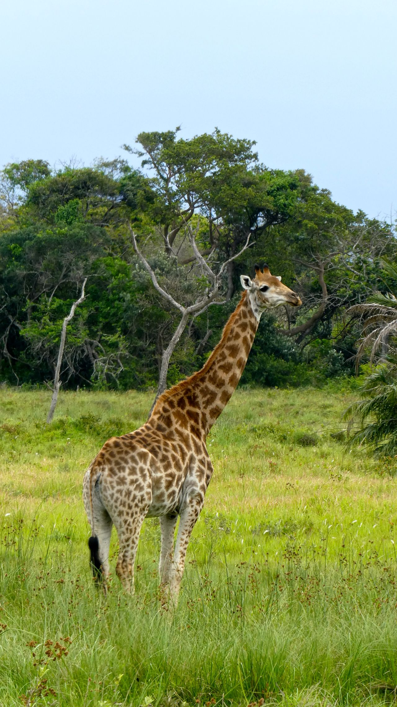 Animal Themes Animal Wildlife Animals In The Wild Day Giraff Giraffe Giraffe Giraffes Giraffe♥ Hluhluwe Mammal Nature No People Outdoors Safari Animals Southafrika St Lucia Wetland Park Südafrika