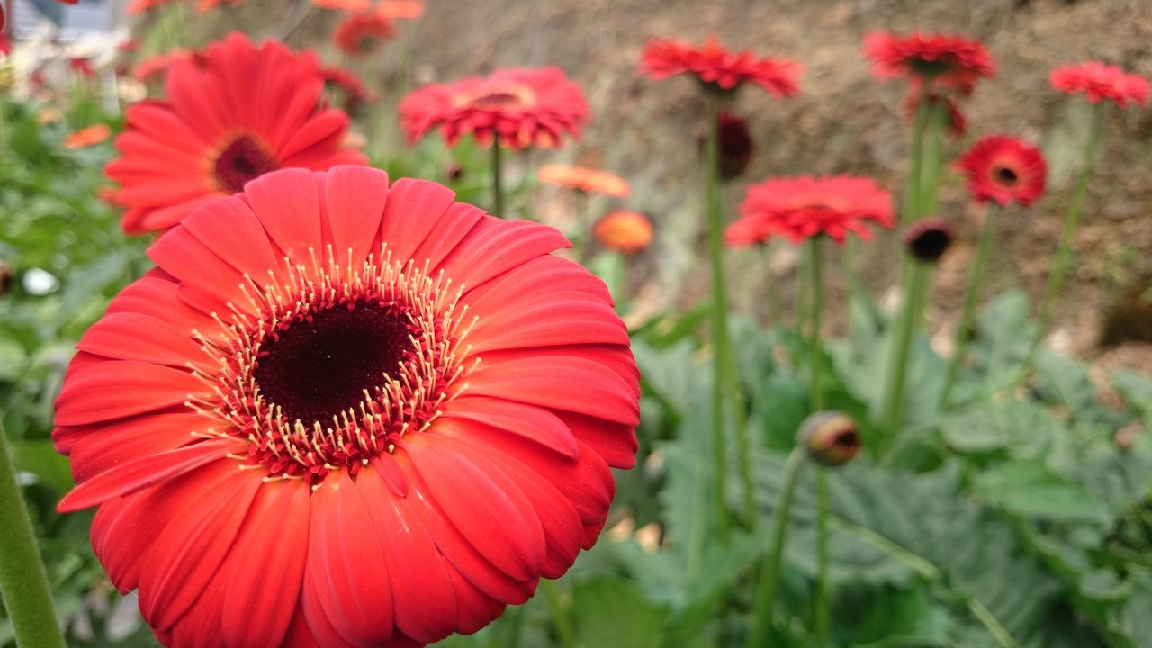 flower, freshness, petal, growth, fragility, flower head, red, beauty in nature, plant, blooming, focus on foreground, nature, close-up, poppy, field, pollen, in bloom, day, outdoors, selective focus