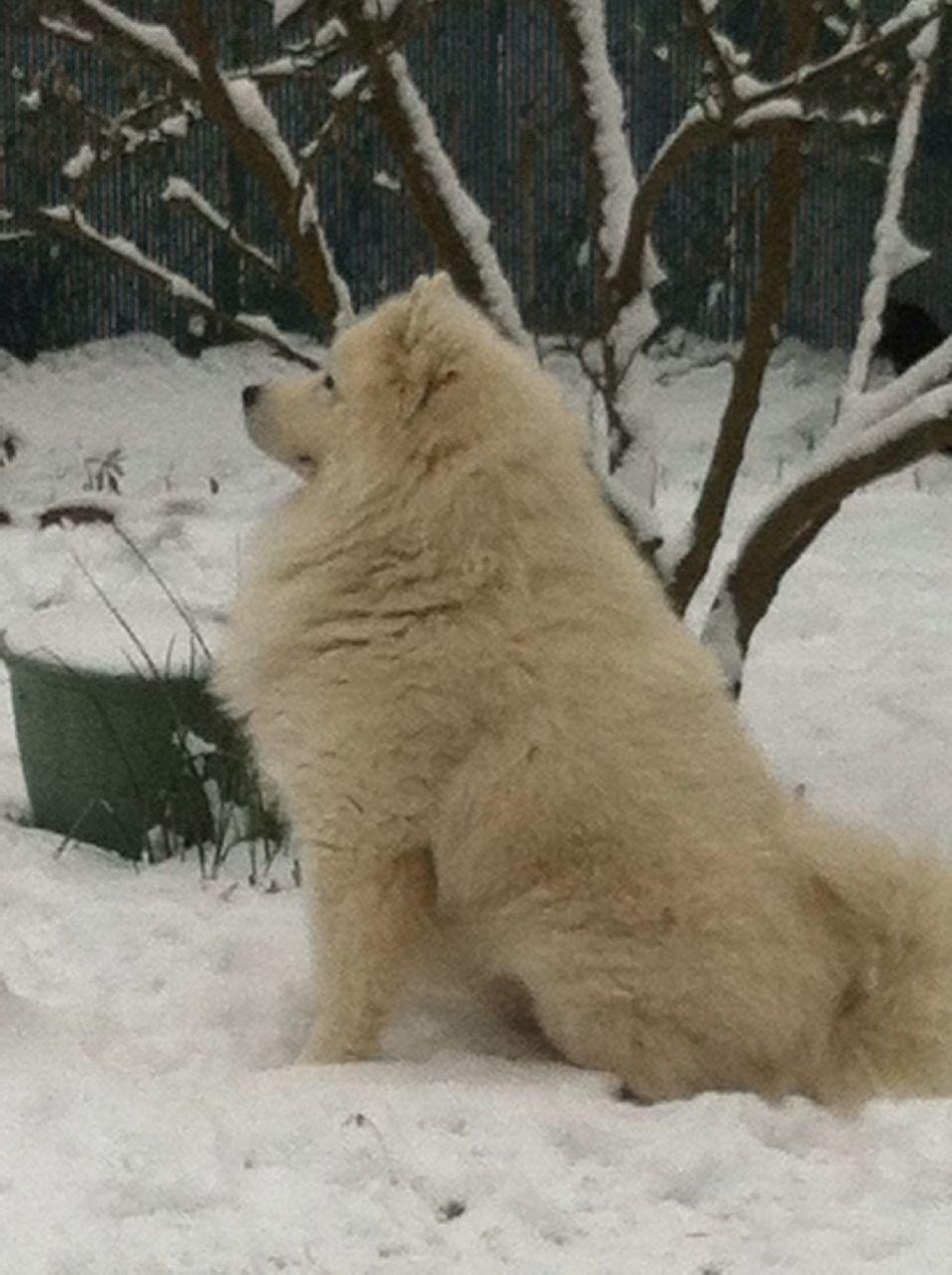 Samoyede's Dog