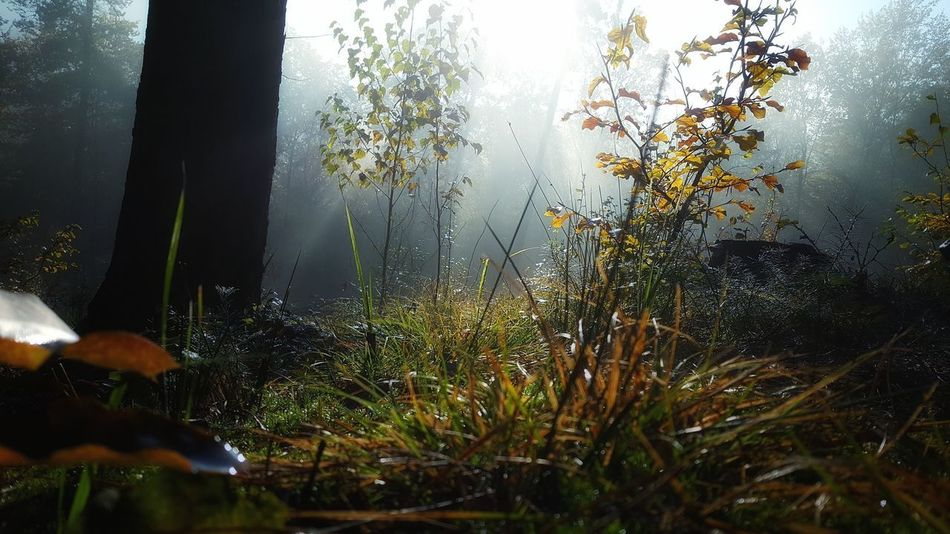 Day Fog Forest Grass Growth Leaf Misty Morning Nature No People Outdoors Plant Poland Summer Tree
