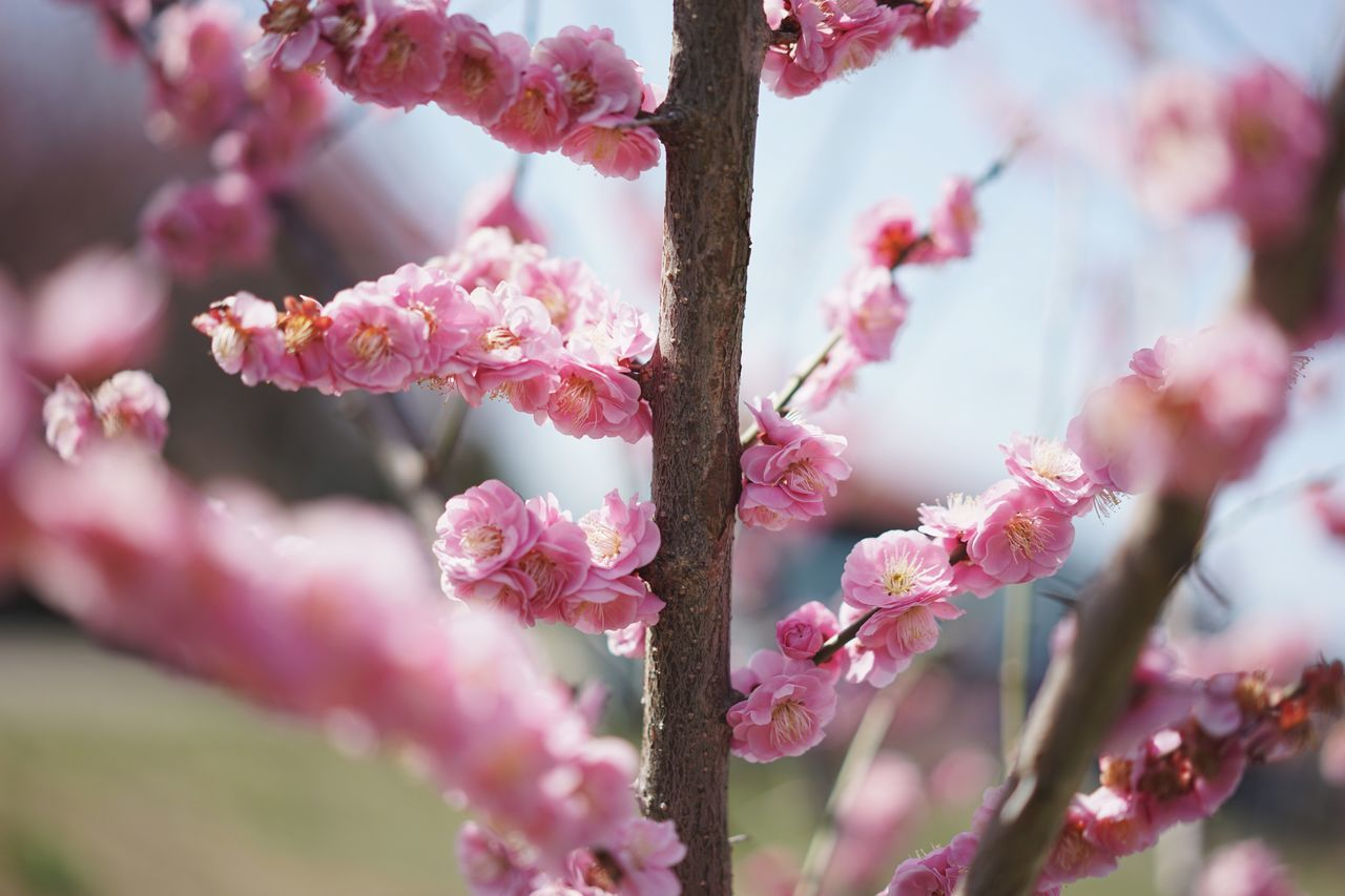 Pink Color Growth Freshness Flower Nature Beauty In Nature Fragility Close-up Petal No People Twig Tree Springtime Flower Head Outdoors Branch Day Plum Blossom Rhododendron