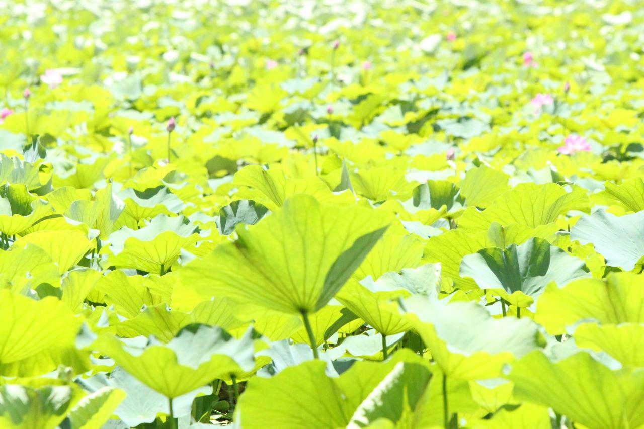 Old Summer Palace Park Plants Lake View Lake Nature Historical Place Bright Colors Lotus Green