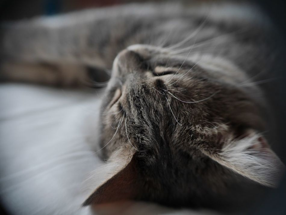 Animal_collection Small Cat Animal Themes Animalportrait Animal Photography Animal Pets Pet Tired Whisker Furry Grey Cat Sleeping Beauty Sleeping Cat Sleepy Kitty Softness Sleepy Sleeping Whiskers Bedtime Feline Catch The Moment Kittens Kittycat Cutest