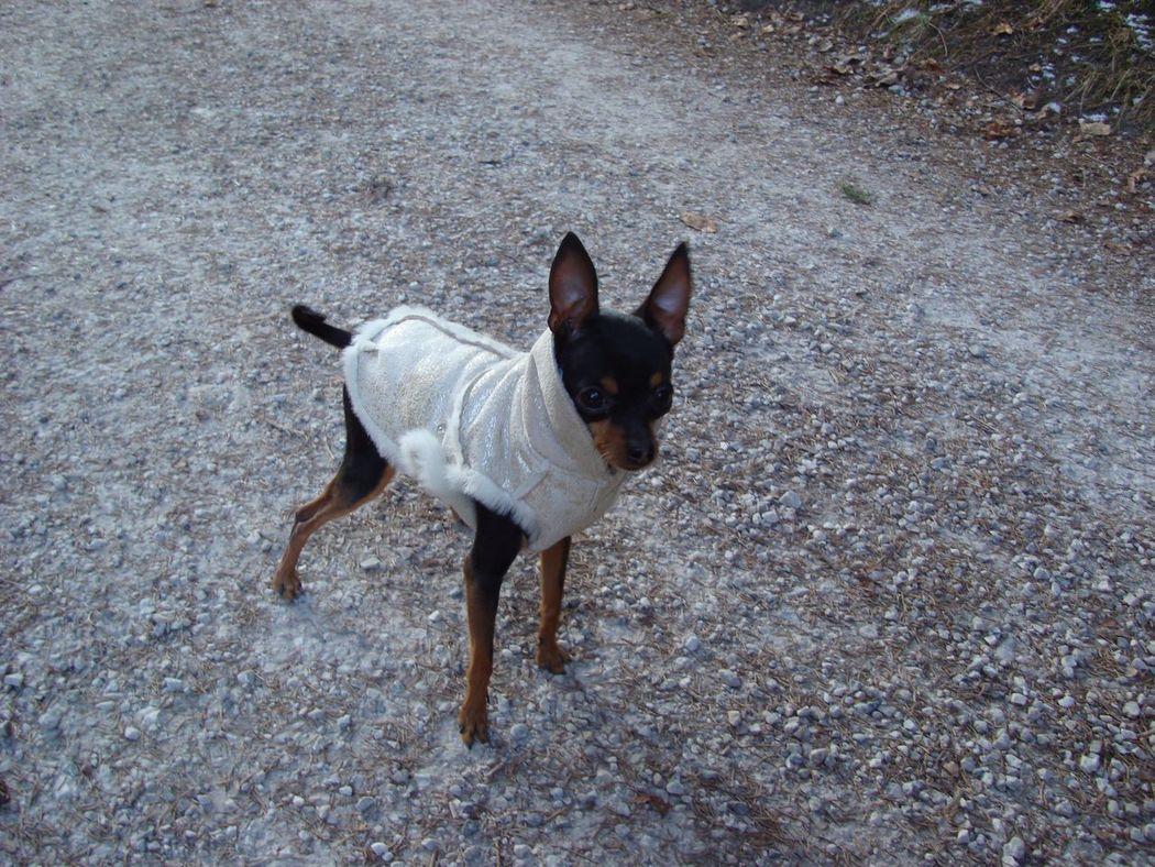 My sweet Dog Noce Pinscher Prague Ratter