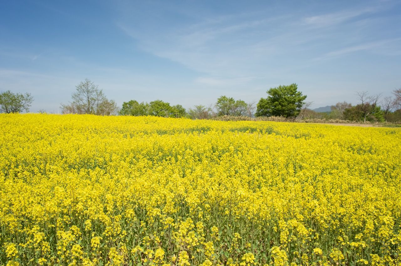 yellow, oilseed rape, agriculture, nature, beauty in nature, field, flower, tranquil scene, landscape, crop, mustard plant, scenics, tranquility, growth, rural scene, springtime, vibrant color, day, no people, sky, plant, outdoors, fragility, tree, freshness