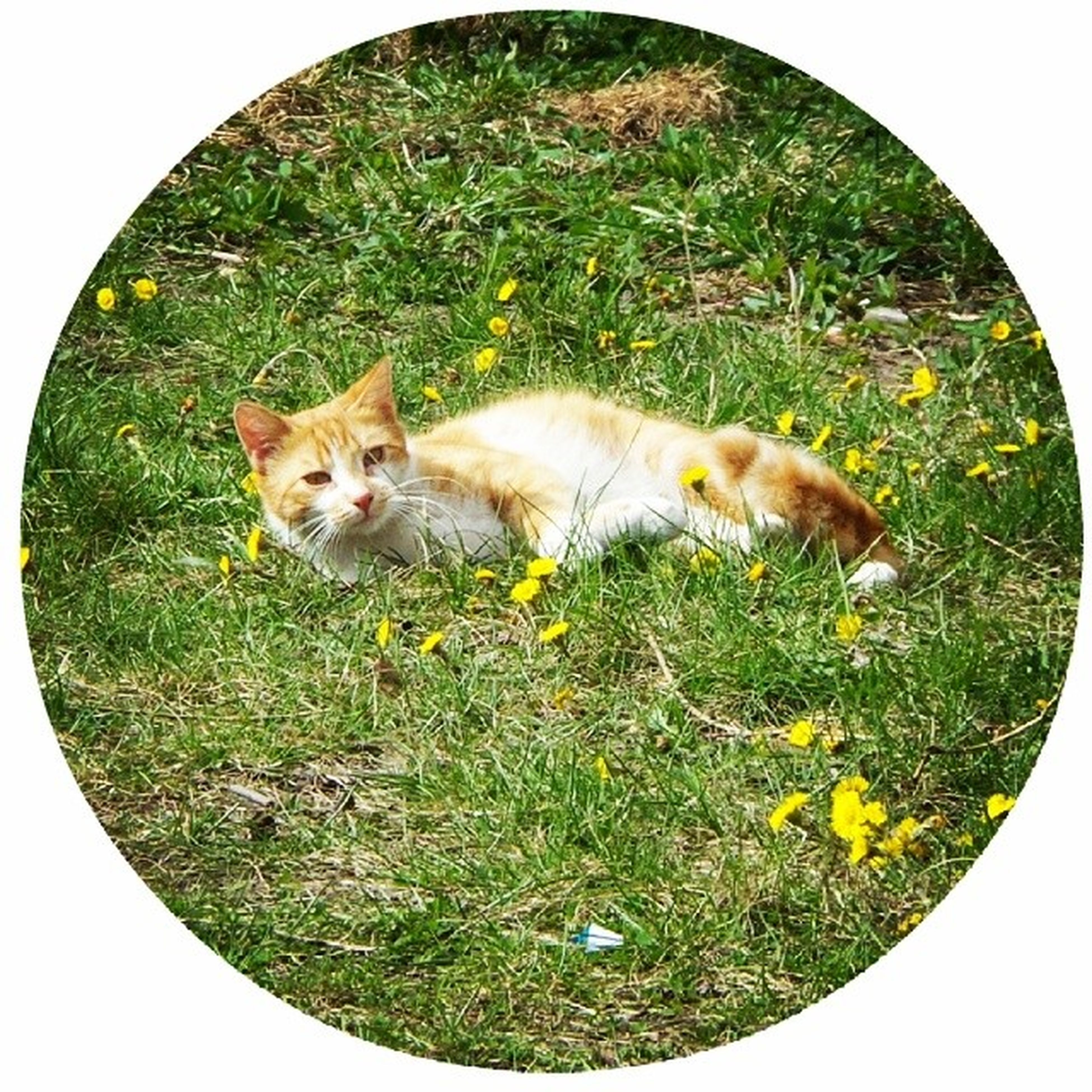 domestic animals, animal themes, mammal, grass, pets, field, grassy, one animal, green color, cat, domestic cat, relaxation, two animals, nature, no people, transfer print, feline, day, full length, looking at camera