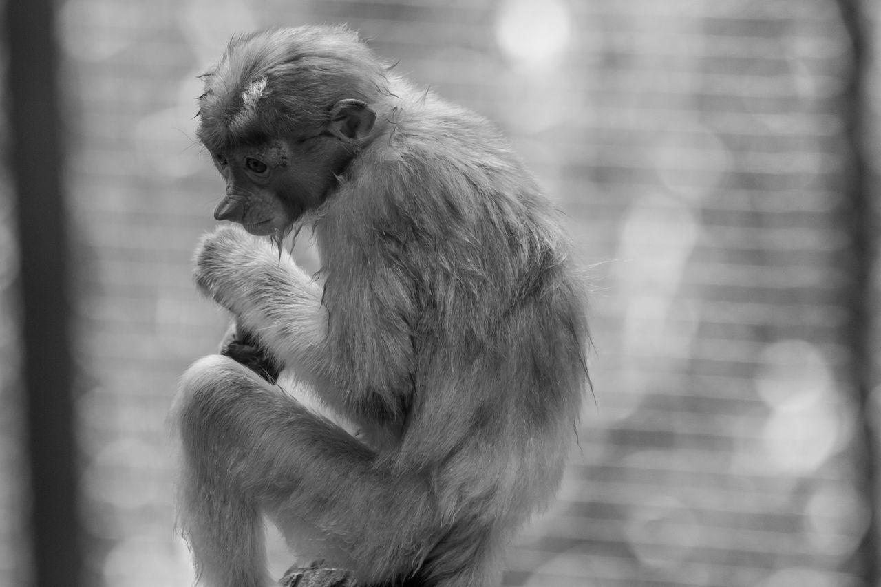 Proboscis Monkey, The proboscis monkey (Nasalis larvatus) or long-nosed monkeyis endemic to the southeast Asian island of Borneo. Adorable Animal Themes Animals In The Wild Animals In The Wild BIG Borneo Borneophoto_hunter Day Endemic Species Evolution  Exotic Forest Photography Hilarious Mammal Mammals Monkey Nature Nature No People Nose Outdoors Proboscis Monkey Rainforest Rare