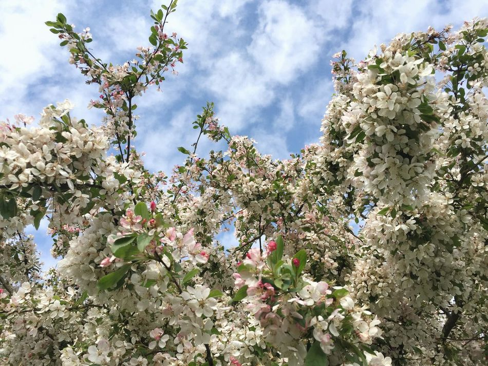 Summer Summertime Blue Sky Nature Flower Sky Tree Day Orchard Blossom Apple Tree Growth Fragility Branch Freshness Beauty In Nature Botany No People Apple Blossom White Color Low Angle View Cloud - Sky The Week On EyeEm